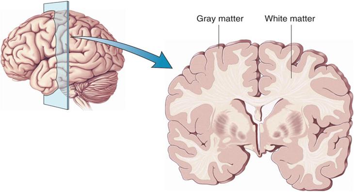 Brain_Cortex_Harvard