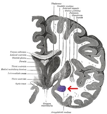Gray_718-amygdala