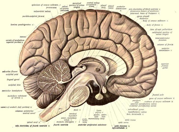 image_1831e-Human-Brain