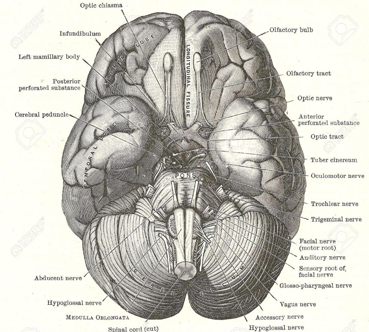 La Disección de un Cerebro Humano en 7 Imágenes
