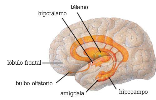 post_005_sistema_limbico