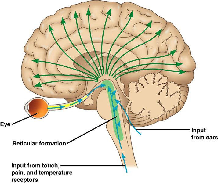 reticular-formation2