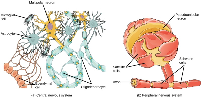 En esta imagen podemos observar los Astrocitos (Células Gliales) y las células microgliales.