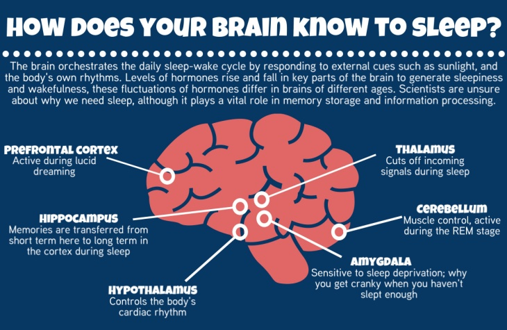 ¿Cómo sabe tu cerebro cómo dormir?