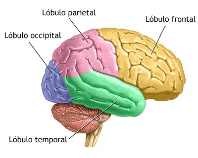 Los Lóbulos Cerebrales