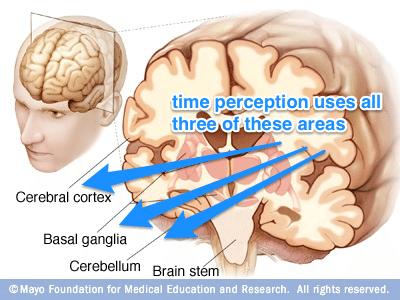 Partes del Cerebro Involucradas en la Percepción del Tiempo: córtex cerebral, ganglios basales, cerebelo y tronco cerebral.