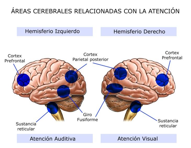 Áreas Cerebrales Relacionadas con la Atención