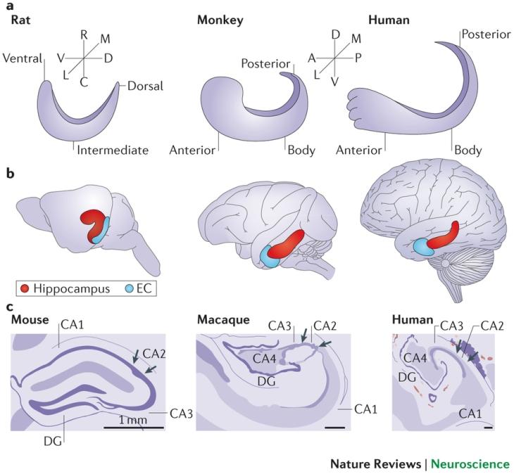 Comparativa del hipocampo de ratas, macacos y humanos.