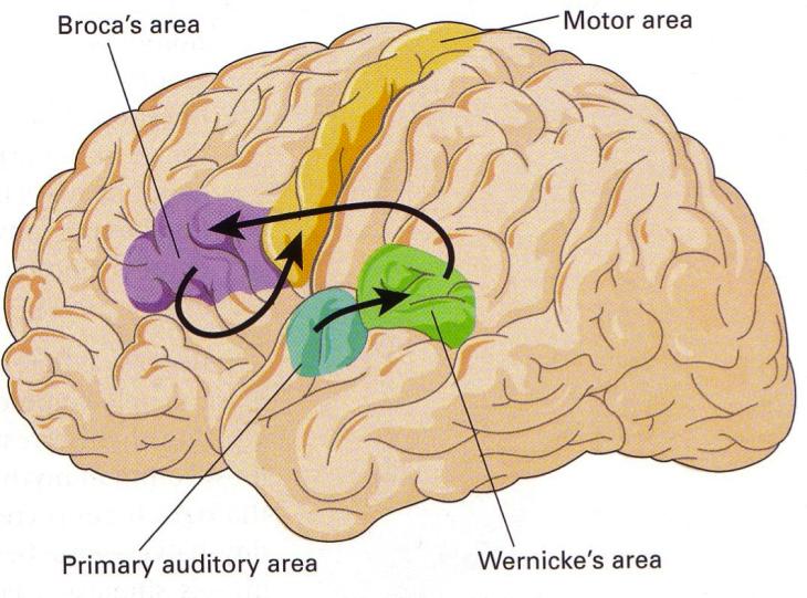 Área de Broca y Área de Wernicke