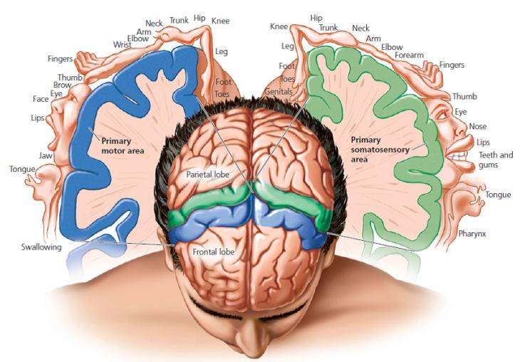 Las áreas somatosensoriales. En azul, el área motora primaria; en verde, el área primaria somatosensorial.