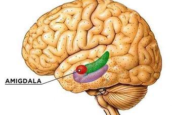 La Amígdala de nuestro cerebro