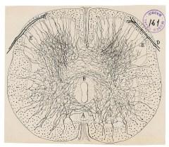 La Médula Espinal