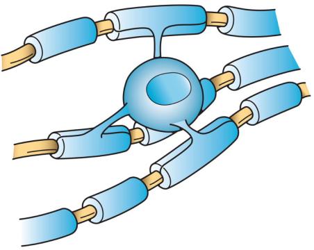 Oligodendrocito (une las vainas de mielina que recubren los axones)